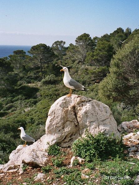 Mittelmeermöwe (Larus michahellis)