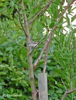 Klappergrasmücke (Sylvia curruca)