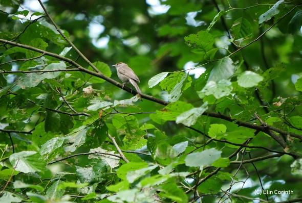 Mönchsgrasmücke (Sylvia atricapilla)