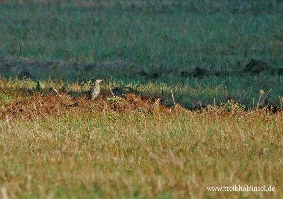 Misteldrossel (Turdus viscivorus)